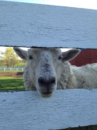 Sheep closeup
